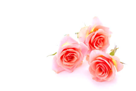 demure: Three pink roses on white background with space for copy