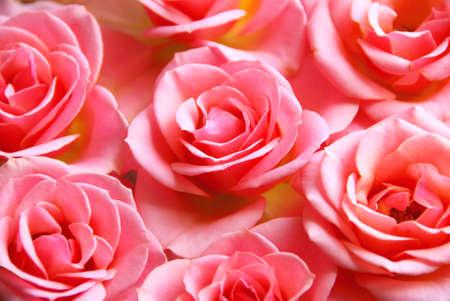 demure: Botanical flower background of pink rose blossoms
