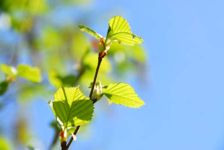 Branches of a birch tree with fresh new leaves in the spring