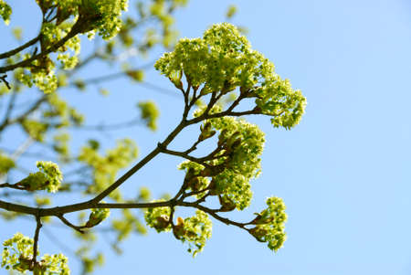 Branches of green blooming maple tree in the spring photo