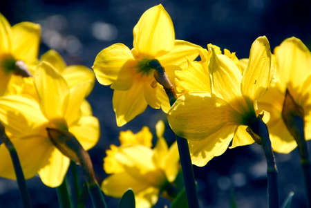 Blooming yellow backlit daffodils in the spring Stock Photo - 671736