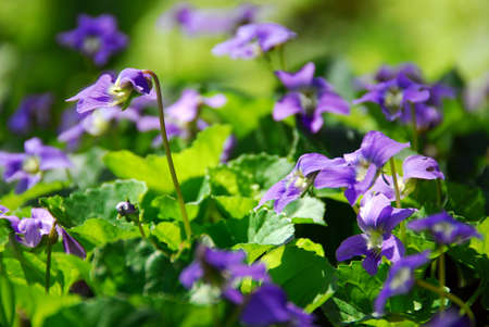 Blooming purple wild violtes in the spring