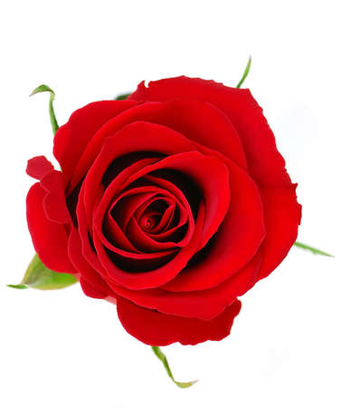 Top view of a red rose blossom isolated on white background 版權商用圖片