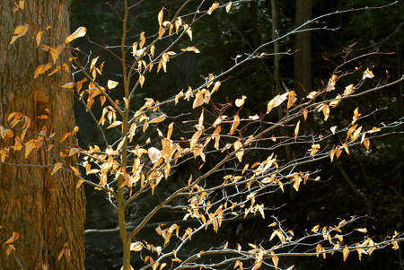 Forest in late fall with backlit dry leaves photo