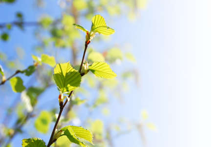 unfold: Young spring green leaves on faded background with copy space Stock Photo