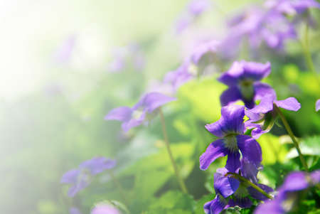Violets blooming in a garden in early spring - background with copy space
