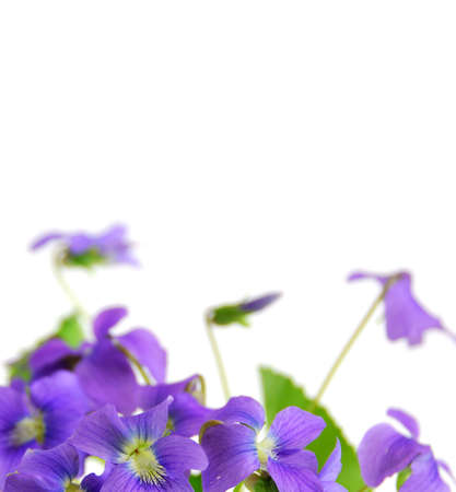 Spring border with white copy space and violets photo
