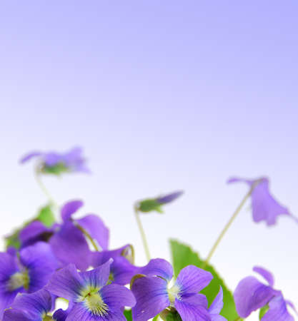 violets: Spring border with violet copy space and violet flowers Stock Photo