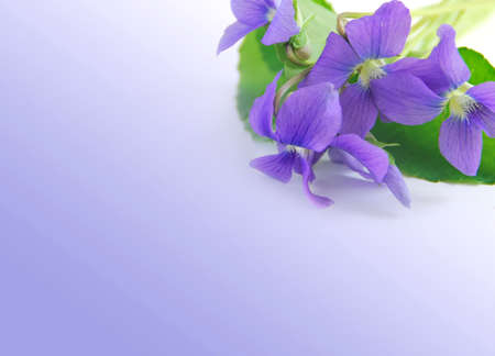tender tenderness: Spring border with white copy space and violet bouquet