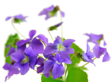 violets: Bouquet of fresh violets isolated on white background Stock Photo
