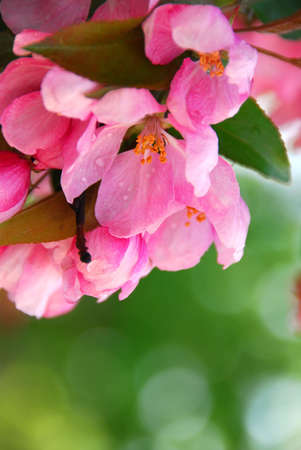 Pink blossom of an apple tree with rain drops Stock Photo - 696186