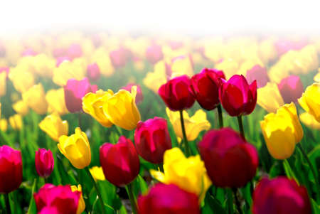 Field of colorful yellow and purple tulips with faded white background photo