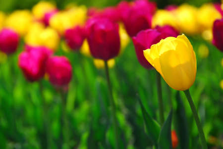Field of colorful yellow and purple tulips photo