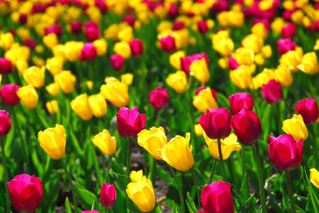 Field of colorful yellow and purple tulips