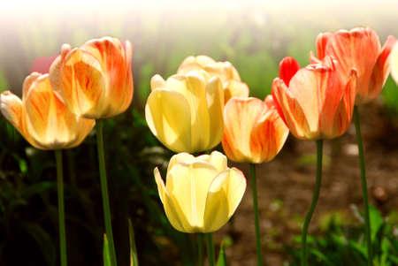 Row of backlit spring tulips in flowerbed