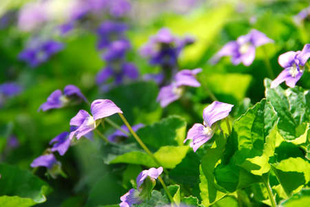 violets: Violets blooming in a garden in early spring