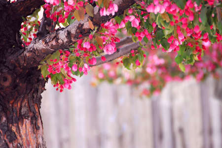 Blooming pink apple tree in spring orchard photo
