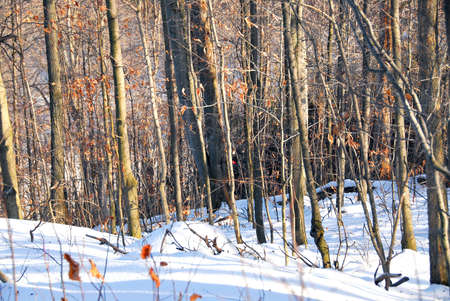 Winter forest landscape with white snow and orange dry leaves