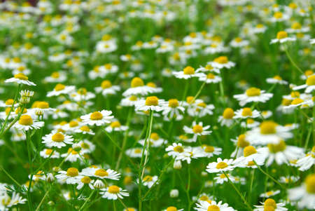 Wild daisies chamomile growing in a green meadow Stock Photo