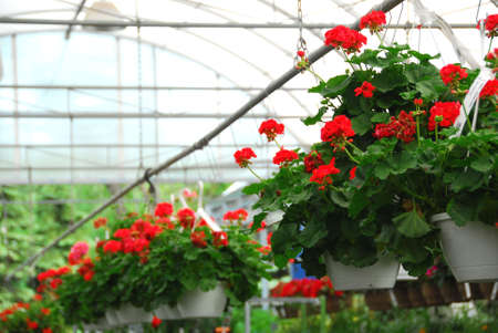 Rows of flowers for sale in a greenhouse Stock Photo - 725276