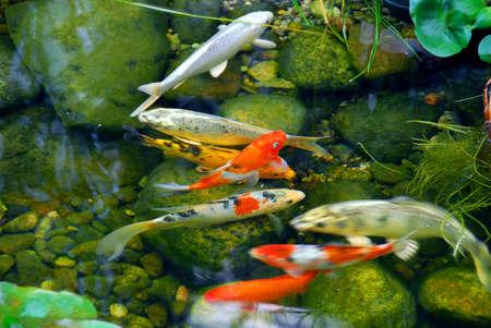 자연석 연못에 잉어 생선