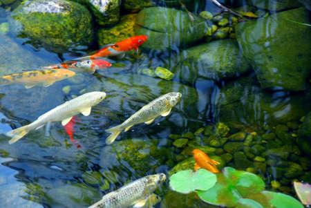 koi: Koi fish in a natural stone pond