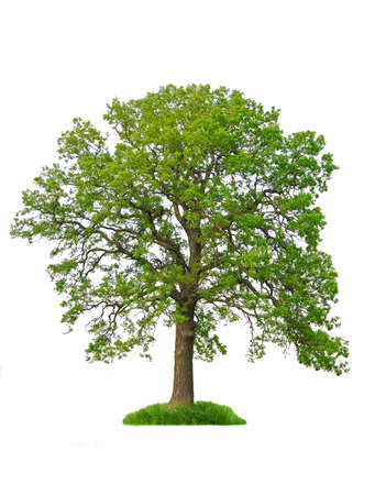 Single oak tree with green leaves isolated on white background