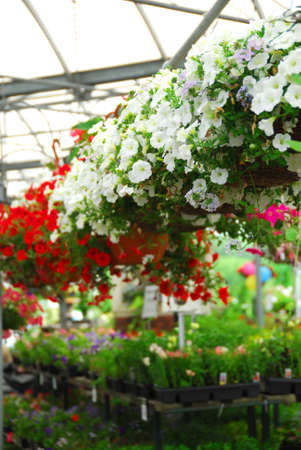 Rows of flowers for sale in a greenhouse photo