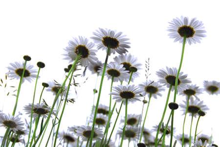 Row of wild daisies isolated on white background photo