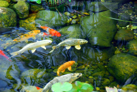 Koi fish in a natural stone pond