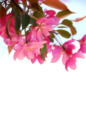 Blooming branch of an apple tree isolated on white background Stock Photo - 733395