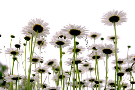 Row of wild daisies isolated on white background Stock Photo - 733364