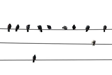 Birds sitting on wires isolated on white background Stock Photo - 737858