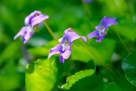 Wild violets growing in a spring garden Stock Photo - 737830