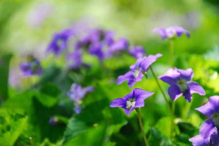 violets: Wild violets growing in a spring garden