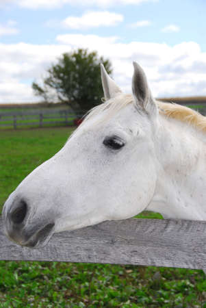 Portrait of a white horse in a field photo