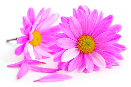 Closeup of pink flower blossoms on white background photo