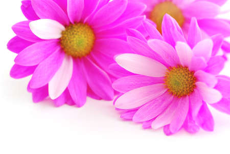 Closeup of pink flower blossoms on white background Stock Photo