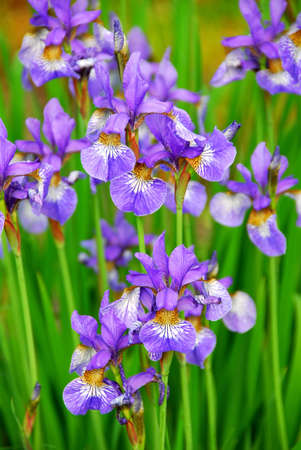 iris flower: Beautiful purple irises blooming in spring time Stock Photo
