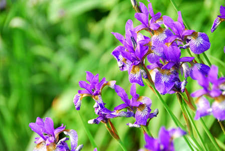 Beautiful purple irises blooming in spring time Stock Photo - 778039