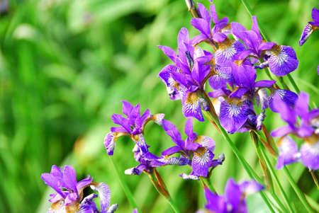 Beautiful purple irises blooming in spring time Stock Photo - 778039