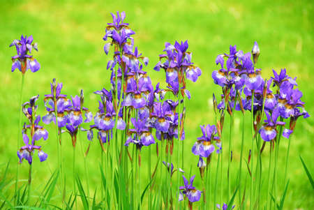 Beautiful purple irises blooming in spring time photo