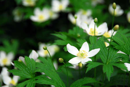 Spring wild flowers wood anemones close up photo