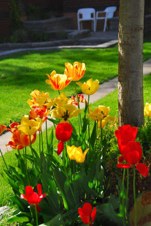 Bright colorful tulips on front of a residential house photo
