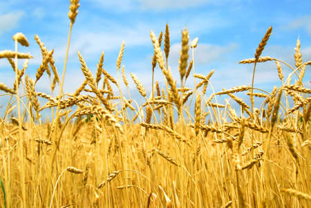Close up on grain ready for harvest growing in a farm field Stock Photo - 849284