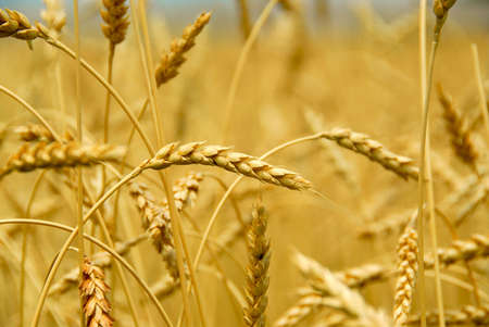 Grain ready for harvest growing in a farm field Stock Photo - 849282