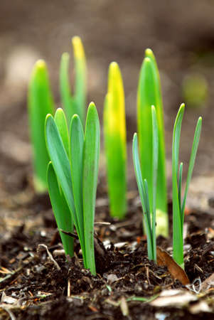 Shoots of spring flowers daffodils in early spring garden Stock Photo
