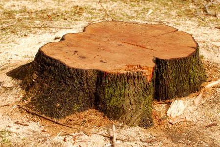 Stump een vers gesneden boom omringd door zag stof Stockfoto