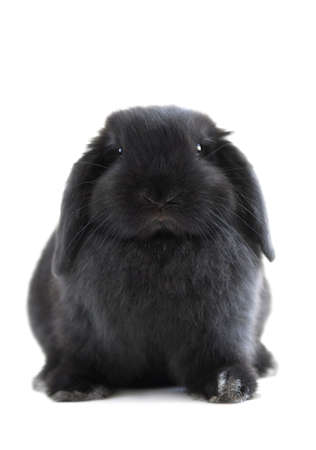 Black holland lop bunny rabbit isolated on white background Stock Photo - 886067