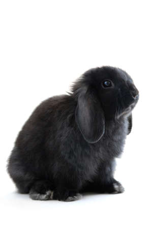 Black holland lop bunny rabbit isolated on white background Stock Photo - 886068